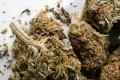 Daugavpils policija izņem marihuānu