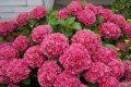 Maģiski ziedošās košumbumbas - hortenzijas