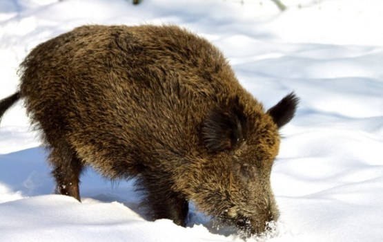 Divarpus mēnešu laikā Latvijā ir nomedīta 7871 meža cūku mātīte