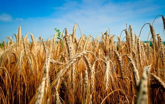 Latvijā pērn graudu ražas rekords; novākti trīs miljoni tonnas