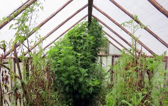 Latgalē atklāj divas marihuānas audzētavas
