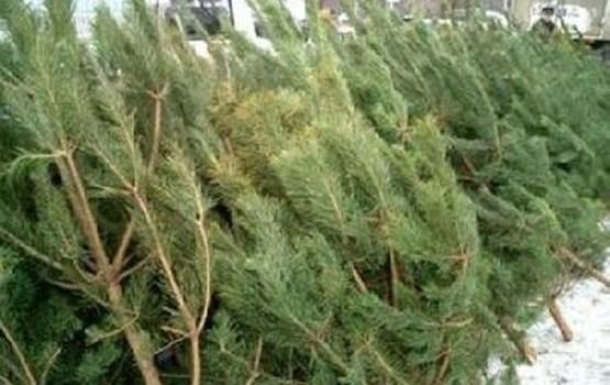 Līdz 21. novembrim var pieteikties tirdzniecībai ar Ziemassvētku eglēm