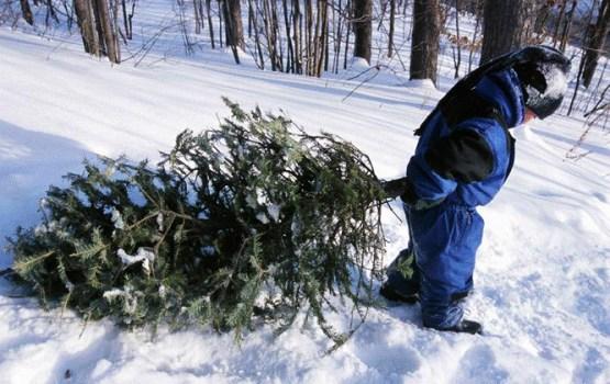 Arī šogad atļauts pārvest vienu eglīti Ziemassvētku sagaidīšanai