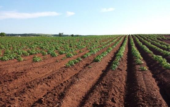 Asociācija: kartupeļu audzēšanas platības varētu saglabāties iepriekšēja gada līmenī