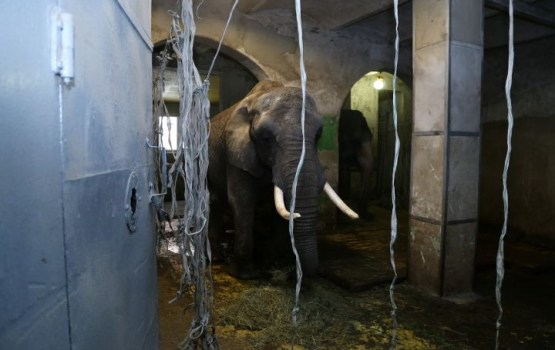 Likumsargi gatavi apturēt cirka izrādi Ādažos, ja arēnā tiks izvesti savvaļas dzīvnieki