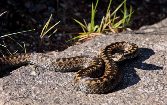 Mežā čūskas sakodušas trīs cilvēkus