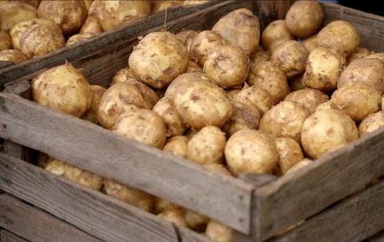 Kartupeļu raža daudzviet padevusies labāka par gaidīto