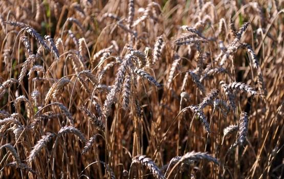 Pārtikas kviešu cena Latvijā gada laikā pieaugusi par 21%