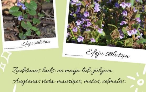 Konkurss – pētnieki aicina iedzīvotājus ziņot par pavasara augiem